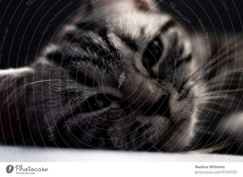 Silver tabby kitten Tier Haustier Katze Tiergesicht 1 Tierjunges Erholung liegen schlafen Glück schön kuschlig niedlich weich schwarz weiß Zufriedenheit