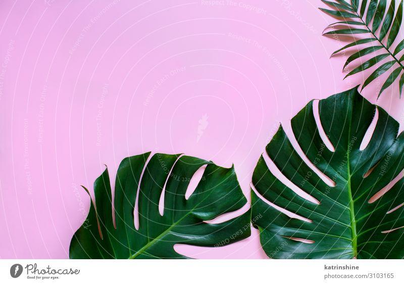 Tropische Monster- und Palmblätter auf hellrosa Hintergrund Design exotisch Sommer Pflanze Blatt Urwald modern natürlich grün Kreativität Fensterblätter