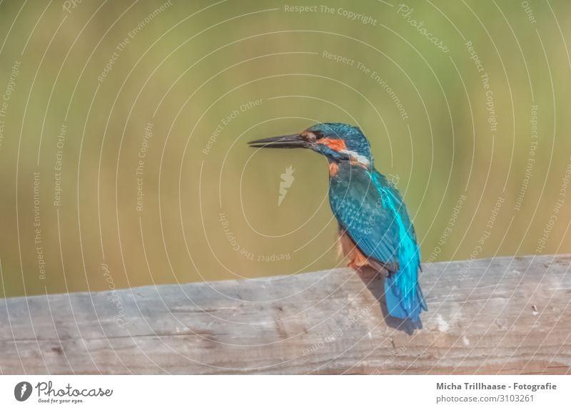 Eisvogel auf dem Zaun Natur Tier Sonne Sonnenlicht Schönes Wetter Seeufer Wildtier Vogel Tiergesicht Flügel Eisvögel Kopf Schnabel Auge Feder gefiedert 1