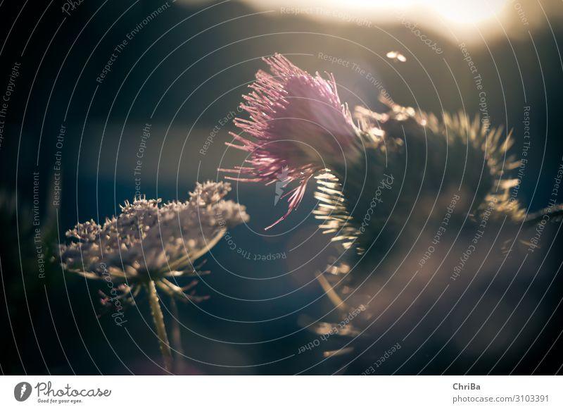Die letzten Sonnenstrahlen Umwelt Natur Pflanze Sonnenlicht Sommer Schönes Wetter Blume Blüte Wildpflanze Wiese Duft Fröhlichkeit schön natürlich stachelig