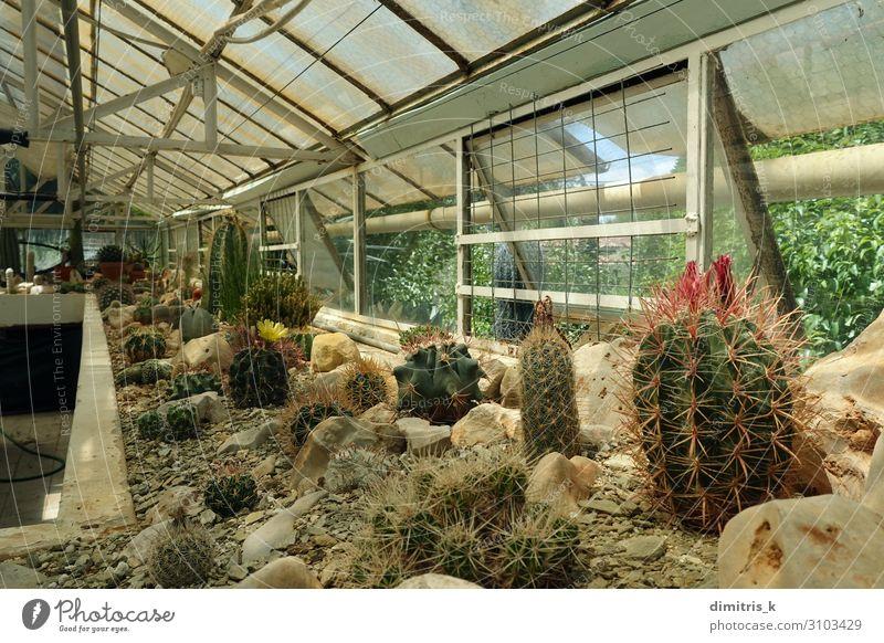 Kaktuspflanzen im Gewächshausinnenraum Pflanze Blume Wachstum Innenbereich Verschiedenheit Lebewesen Kakteen Bodenbearbeitung viele Fenster Sukkulenten Dornen