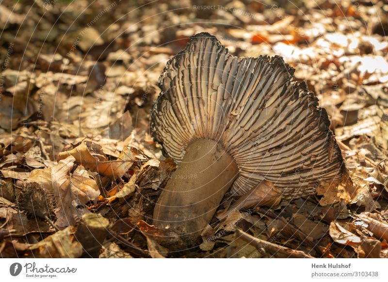 Zerfall eines Pilzes im Herbst botanisch braun Verschlussdeckel Nahaufnahme Farbe Verwesung getrocknetes Blatt getrocknete Blätter fallen Flora Wald pilzartig