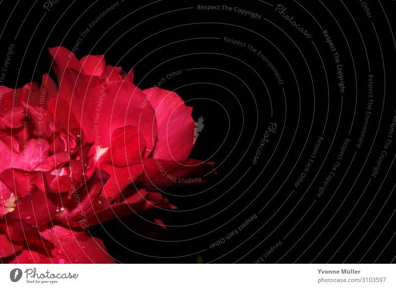 Blüte mit Regentropfen Pflanze Blume Rose Blühend verblüht ästhetisch exotisch nass natürlich rosa rot schwarz Farbfoto Makroaufnahme Menschenleer