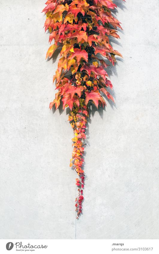 Blattsalat Natur Herbst Wilder Wein Mauer Wand Strukturen & Formen einzigartig gelb orange rot weiß Stimmung Wandel & Veränderung Farbfoto Außenaufnahme
