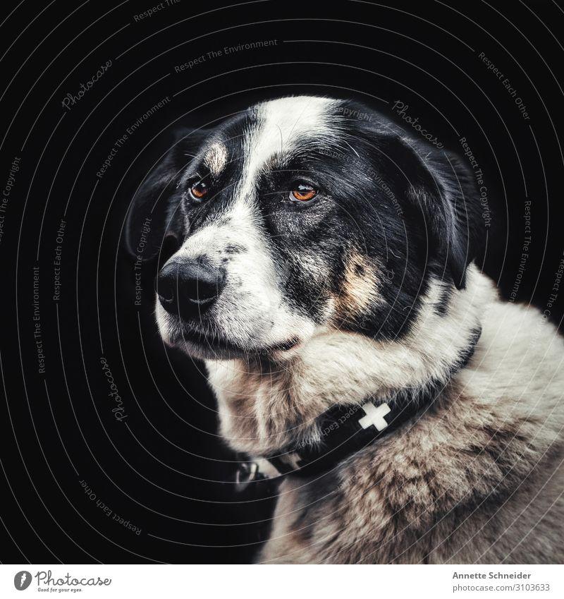 Hund mit Halsband Tier Haustier Tiergesicht Hundehalsband braun schwarz weiß Farbfoto Gedeckte Farben Freisteller Blick nach vorn