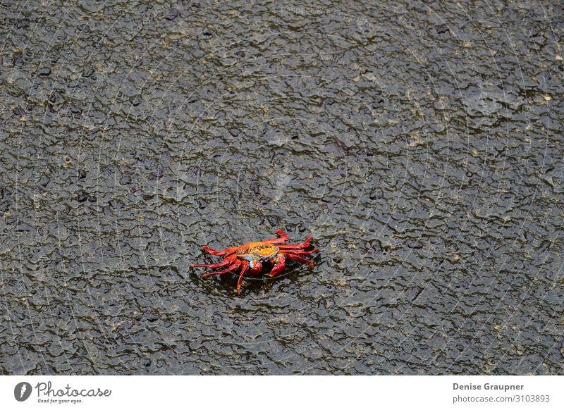 Red cliff crab on black rock Büffet Brunch Leben Sommer Strand Natur Wildtier 1 Tier maritim nass natürlich claw red food Marine ocean sea seafood shellfish