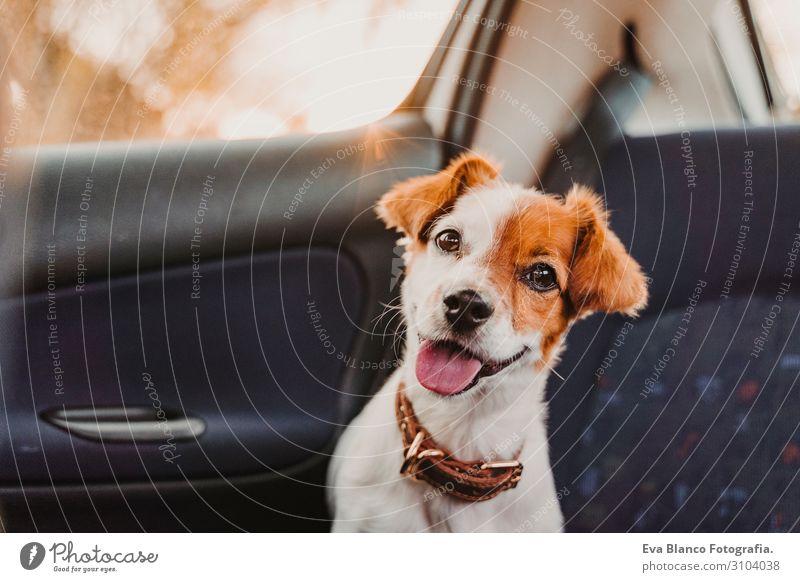 süßer kleiner Jack-Russell-Hund in einem Auto bei Sonnenuntergang. Bereit zum Reisen. Konzept Reisen mit Haustieren Gegenlicht. Hund schaut in die Kamera Kopf