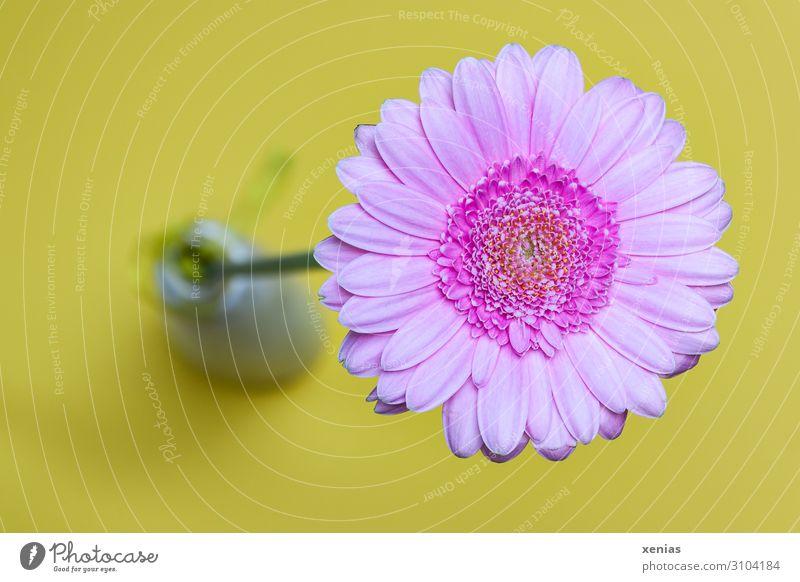 Rosa Gerbera in Vase Wohnung Blume Blüte Blumenvase gelb rosa Farbfoto Studioaufnahme Menschenleer Textfreiraum links Hintergrund neutral Schwache Tiefenschärfe