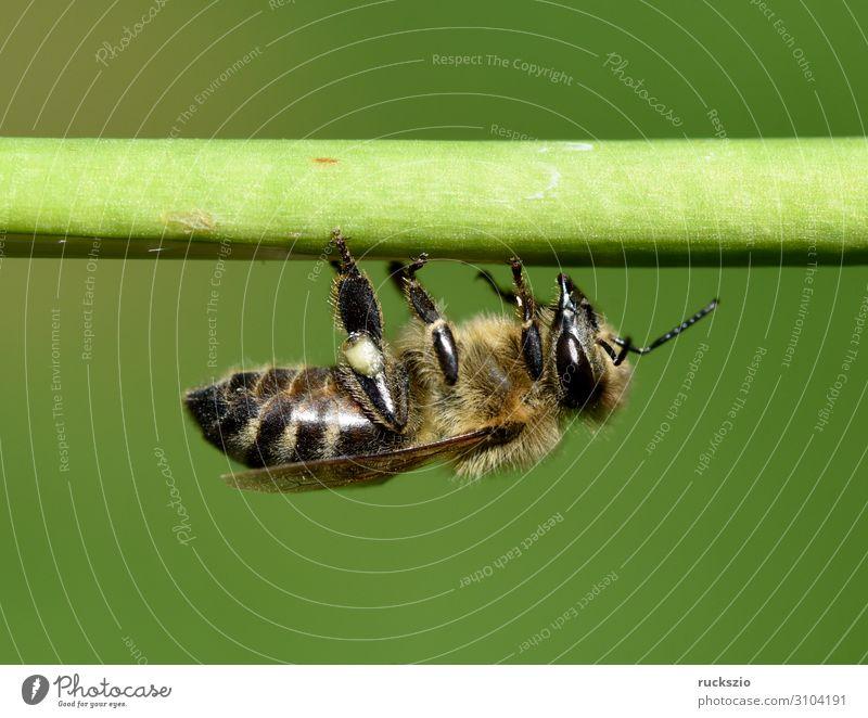 Bee, pollen ash, apis, mellifera Haustier Biene grün Pollenhoeschen Apis Honigbiene Insekt Bestaeubung Staubfäden Imme Nektar Nektarsammler Futterquelle