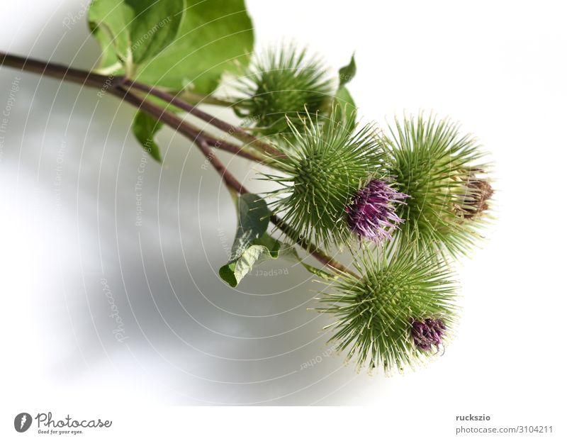 Big, burdock, arctium, lappa Pflanze Wildpflanze groß Große Klette Arctium Heilpflanzen Wiesenblume Feldflora Wildflora Heilgartenpflanze Apothekergartenpflanze