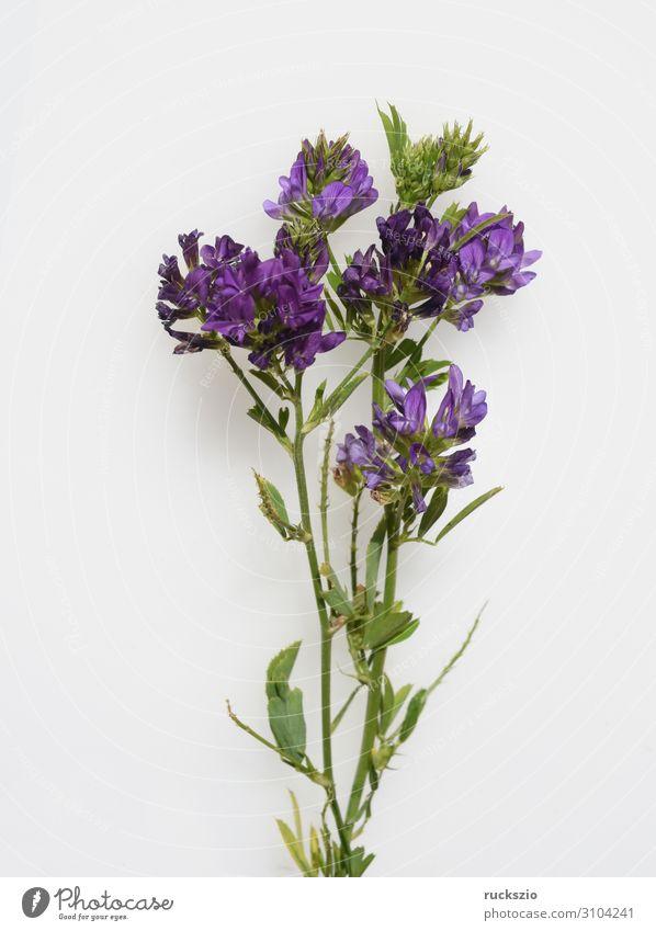 Alfalfa, Medicago, sativa, Seeding Medick Natur Pflanze Wildpflanze rosa weiß Luzerne Saat-Luzerne Schneckenklee Ewiger Klee Blaue Luzerne Futterpflanze