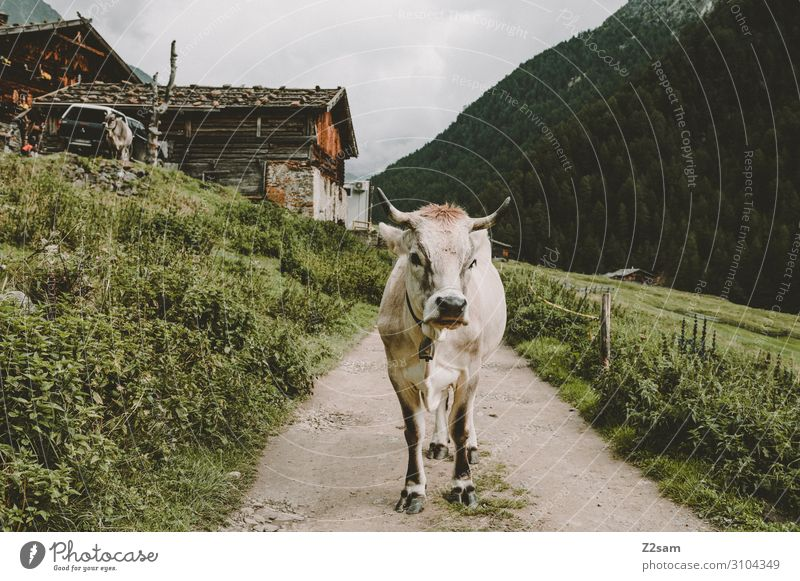 Kuh auf dem Meraner Höhenweg Natur Landschaft Wolken Sommer schlechtes Wetter Wald Alpen Berge u. Gebirge Hütte Wege & Pfade stehen Gesundheit nachhaltig