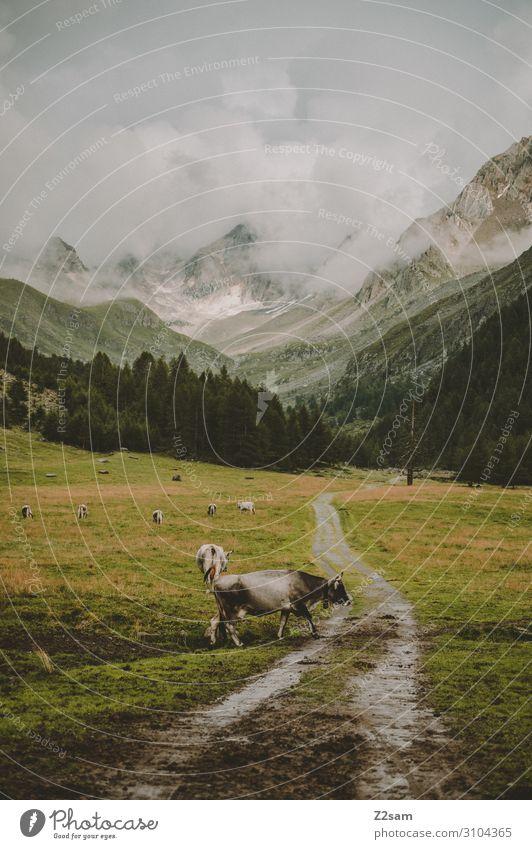 Eisjöchl Umwelt Natur Landschaft Wolken Herbst schlechtes Wetter Wiese Alpen Berge u. Gebirge Gipfel Nutztier Kuh Herde stehen bedrohlich gigantisch natürlich