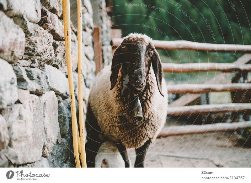 Schaf auf der Alm Natur Landschaft Herbst Sträucher Alpen Berge u. Gebirge Nutztier 1 Tier beobachten Blick lustig nachhaltig natürlich Tierliebe Neugier Idylle
