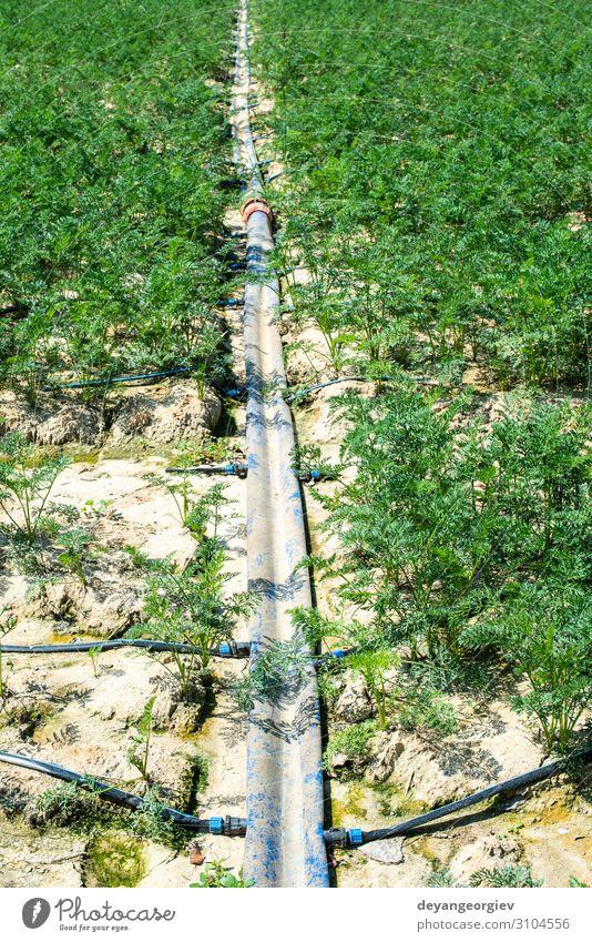 Karotten in großem Ackerland. Bewässerungsschläuche in der Karottenplantage. Gemüse Garten Gartenarbeit Umwelt Pflanze Erde Tube Wachstum Möhre Ackerbau Tropf