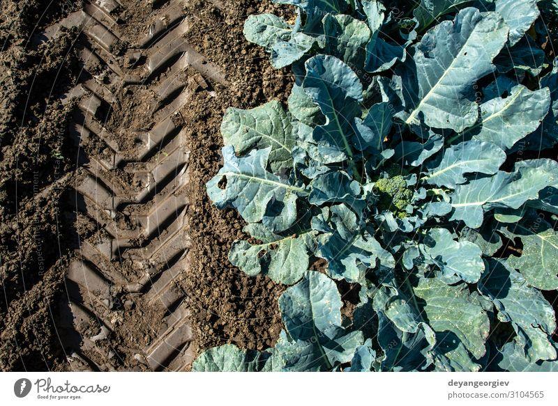 Brokkoli aus der Nähe in einem Bauernhof. Große Brokkoli-Plantage. Gemüse Garten Gartenarbeit Umwelt Pflanze Blatt Wachstum frisch grün Ackerbau Reihe Schonung