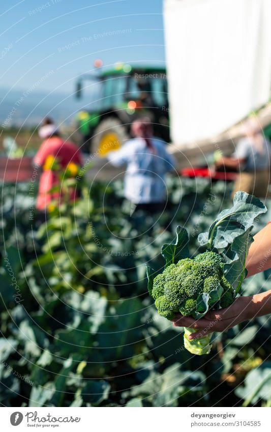 Workers zeigt Brokkoli auf der Plantage. Brokkoli pflücken. Gemüse Industrie Business Technik & Technologie Landschaft Pflanze Traktor Verpackung Linie grün