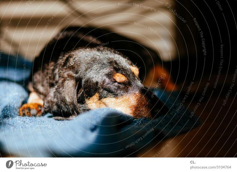 ein dackel genießt die sonne Häusliches Leben Wohnung Tier Haustier Hund Tiergesicht Fell Pfote Dackel 1 Decke liegen schlafen niedlich Tierliebe ruhig
