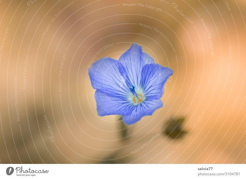 zart und fein Umwelt Natur Pflanze Sommer Blume Blüte Nutzpflanze Lein Garten Feld Blühend Duft ästhetisch schön Wärme weich einzigartig Farbe Leichtigkeit