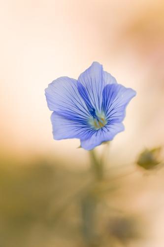 Leinblüte Umwelt Natur Pflanze Sommer Blume Blüte Nutzpflanze Leingewächse Garten Feld Blühend Duft ästhetisch schön weich blau braun zart fein filigran