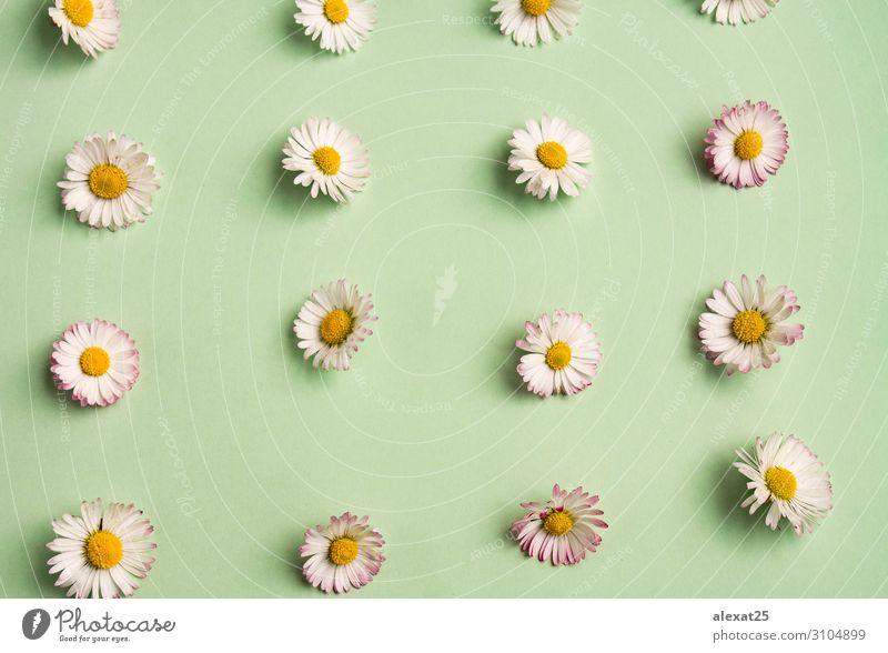 Gänseblümchenmuster schön Sommer Dekoration & Verzierung Natur Pflanze Blume frisch natürlich gelb grün weiß Hintergrund Beautyfotografie Zusammensetzung