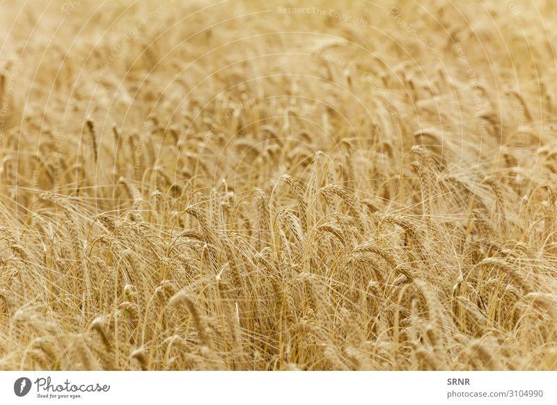 Roggenfeld Umwelt Natur Pflanze Gras Wachstum landwirtschaftliche Nutzfläche Ackerbau Gerste Müsli Getreideernte Getreidekörner Getreidepflanze Mais Feldfrüchte