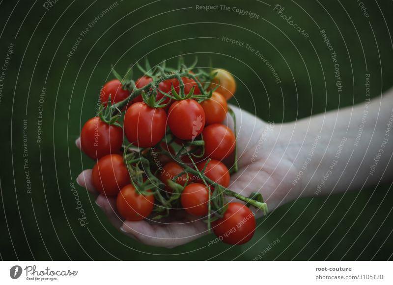 Ein Strauch voller Bio Tomaten Lebensmittel Salat Salatbeilage Ernährung Diät Hand Natur Pflanze Sträucher Nutzpflanze Garten Feld saftig grün rot Landwirt