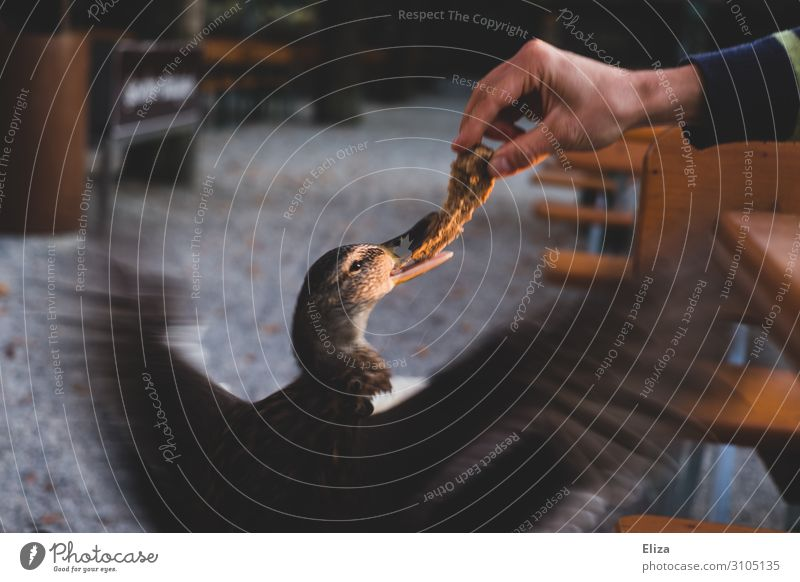 Schnapp und weg Hand Natur Ente füttern Appetit & Hunger Flügel Wildtier Biergarten frech schnappen flügelschlagen Feder gefiedert Schnabel Brot Wildpark