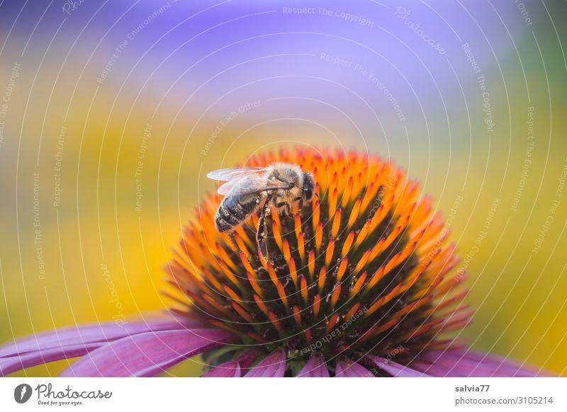 Bienenweide Umwelt Natur Pflanze Tier Sonne Sommer Klima Klimawandel Schönes Wetter Blume Blüte Nutzpflanze Wildpflanze Roter Sonnenhut Garten Park Nutztier