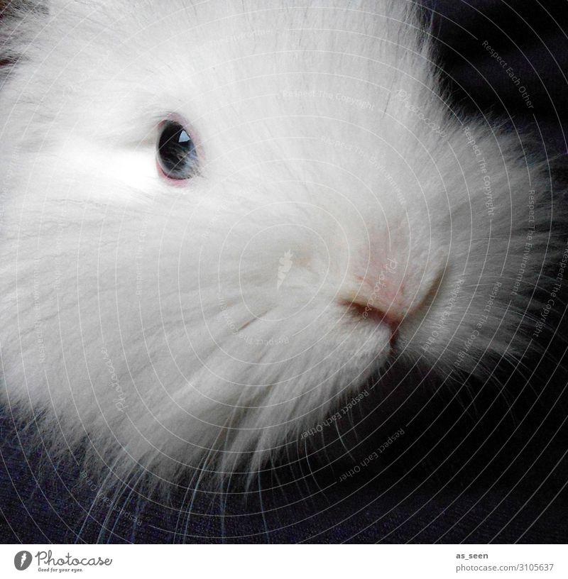 Schneehase Tier Haustier Tiergesicht Fell Zoo Streichelzoo Löwenkopfkaninchen Hase & Kaninchen 1 Blick ästhetisch authentisch kuschlig niedlich positiv weich