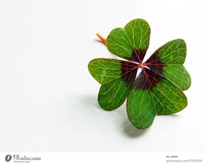 Glück gehabt Silvester u. Neujahr Natur Pflanze Frühling Blatt Grünpflanze Kleeblatt vierblättrig Glücksklee liegen ästhetisch authentisch Fröhlichkeit frisch