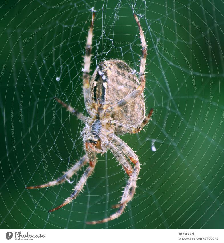 Gartenkreuzspinne garden cross spider Internet Detailaufnahme Makroaufnahme green Nahaufnahme animal insect Tier Spinne Kreuzspinne gartenkreuzspinne Insekt