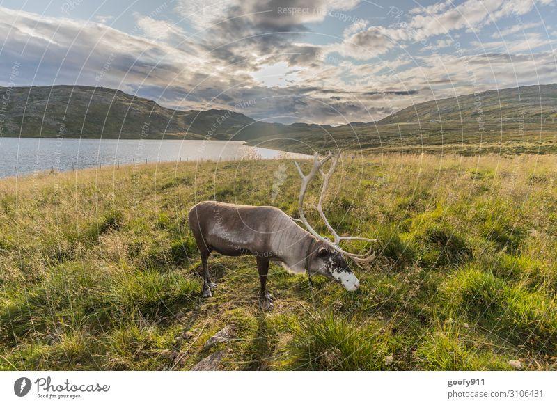 Rentiert Ferien & Urlaub & Reisen Tourismus Ausflug Abenteuer Ferne Freiheit Umwelt Natur Landschaft Wasser Himmel Wolken Horizont Sonnenlicht Hügel See Tier