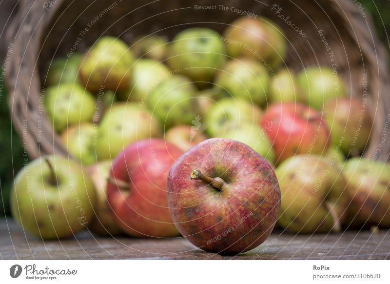 Äpfel ernten. Lebensmittel Apfel Ernährung Lifestyle Stil Gesundheit Gesundheitswesen Gesunde Ernährung Fitness Wellness harmonisch Freizeit & Hobby
