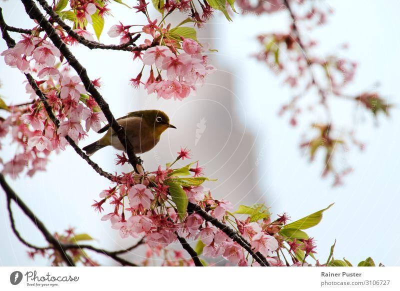 Mejiro in Tokyo zur Kirschblütenzeit Baum Blüte Park Sehenswürdigkeit Vogel Tier ruhig mejiro sakura Farbfoto Außenaufnahme Tag Schwache Tiefenschärfe Frühling