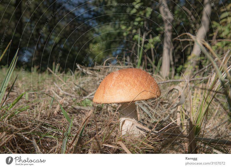 a stone mushroom with his bright brown hat stands on a clearing Lebensmittel Gemüse Ernährung Lifestyle Freude Mensch Natur Pflanze frisch Gesundheit braun