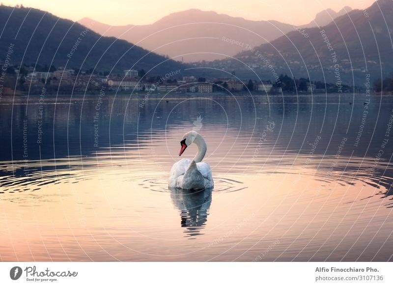 Eleganter Schwan beim Schwimmen im See elegant schön Ferien & Urlaub & Reisen Tourismus Sonne Insel Berge u. Gebirge Kunst Kunstwerk Natur Landschaft Himmel