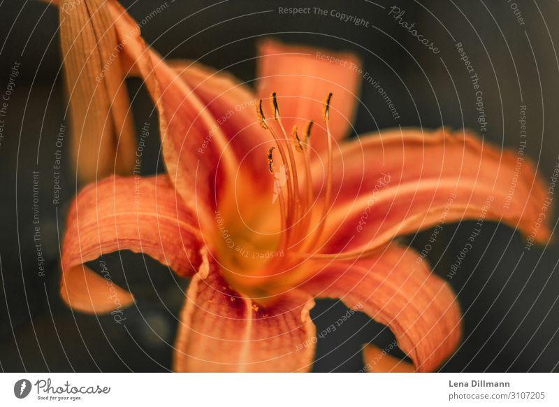 Orange Lilie lilie feuerlilie natur draußen Außenaufnahme Liliengewächse Makroaufnahme Nahaufnahme Pflanze Blüte Blume Natur grün Farbfoto schön Detailaufnahme