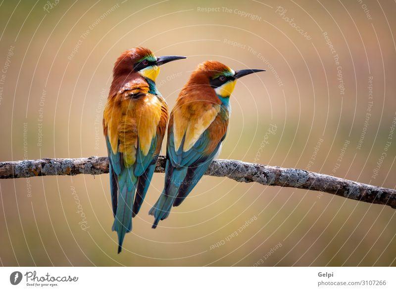 Liebe auf dem Ast exotisch schön Freiheit Partner Umwelt Natur Tier Park Vogel Biene Küssen klein wild blau gelb grün rot Farbe Zusammenhalt Tierwelt