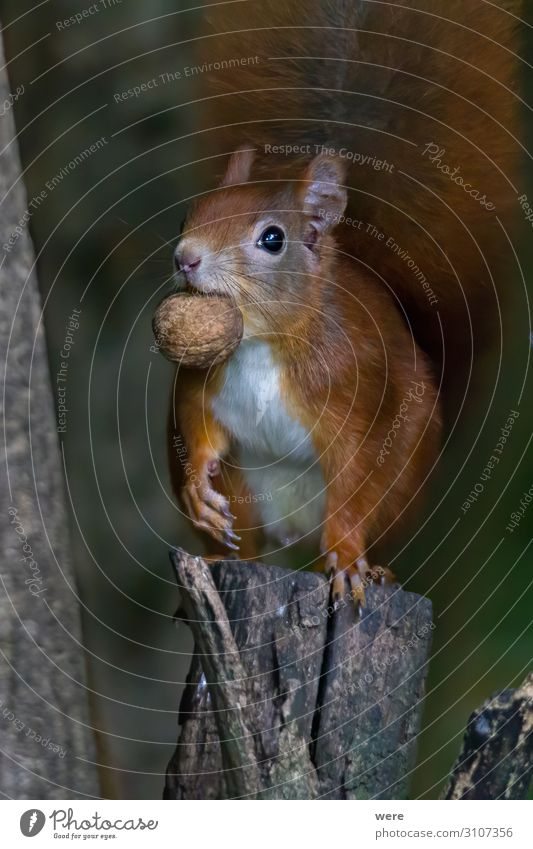 European brown squirrel Natur Tier Wildtier 1 Essen füttern weich Eichhörnchen animal branch branches copy space cuddly cuddly soft cute european squirrel