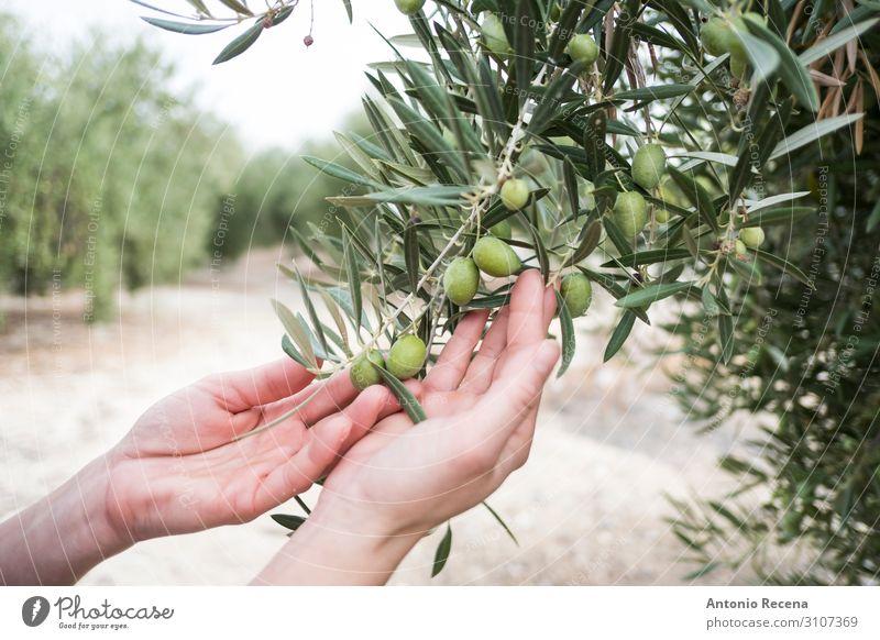 Mediterrane Oliven, grüne Olivenfrucht im Herbst, Öl-Olive Mensch Arme Hand Baum wählen wild Qualität oliv Erdöl Ernte Landwirtschaft Andalusia meditearraen