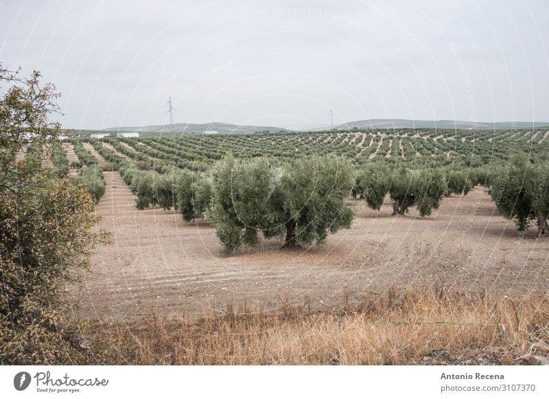 Oliven Mensch Hand Landschaft Herbst Baum wählen wild grün oliv Erdöl Ernte Landwirtschaft Andalusia meditearraen Schnittführung Jaen torredelcampo abholen reif