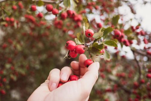 Crataegus monogyna Frucht Mensch Frau Erwachsene Hand Herbst Baum wählen wild rot untersucht sammelt Majoletas essbar Beeren sammelnd Ackerbau abholen giftig
