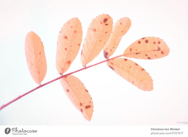 Blatt einer Eberesche Natur Herbst Pflanze Baum Ebereschenblätter Vogelbeerbaum Wildgehölz außergewöhnlich Coolness einfach kaputt natürlich schön orange rot