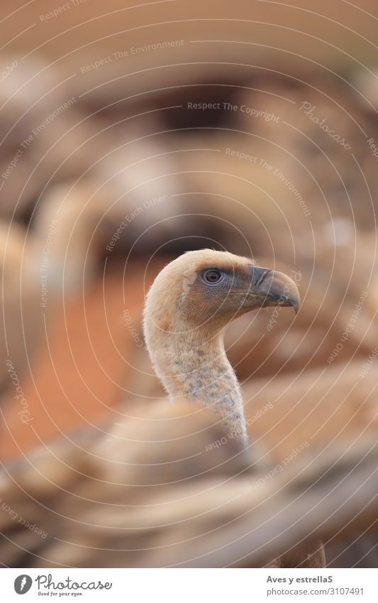 Griffon Vulture (Gyps fulvus) freigegeben Vogel Tier Schnabel Kopf Natur Hals Porträt wild Hühnervögel Auge Emu Zoo Feder Nahaufnahme Gans Hausgans Laufvogel