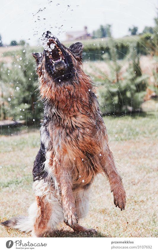 Durstiger Hund spielt mit dem Wasser trinken Freude Spielen Sommer Garten Tier Gras Haustier 1 springen authentisch Coolness nass platschen Bewässerung Dusche
