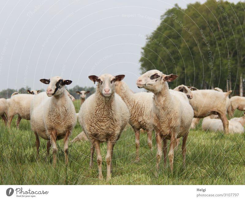 Schafe im Moor Natur Sommer Pflanze grün Landschaft Baum Tier Umwelt natürlich Wiese Gras Freiheit Zusammensein braun grau Zufriedenheit
