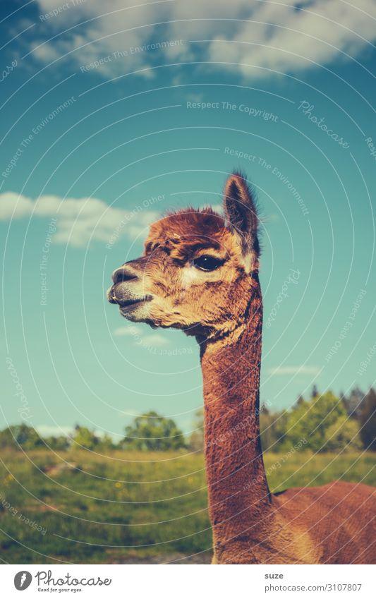Hömma! Friseur Tier Himmel Wiese Fell Haustier Nutztier 1 schön kuschlig lustig Neugier niedlich wild blau braun Wachsamkeit Lama Karma tierisch Kopf Hals