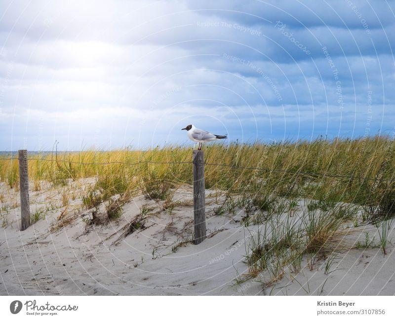Möwe am Strand Ferien & Urlaub & Reisen Natur Landschaft Pflanze Tier Sand Himmel Gras Küste Ostsee Meer Wildtier Vogel 1 Wasser beobachten Erholung gehen
