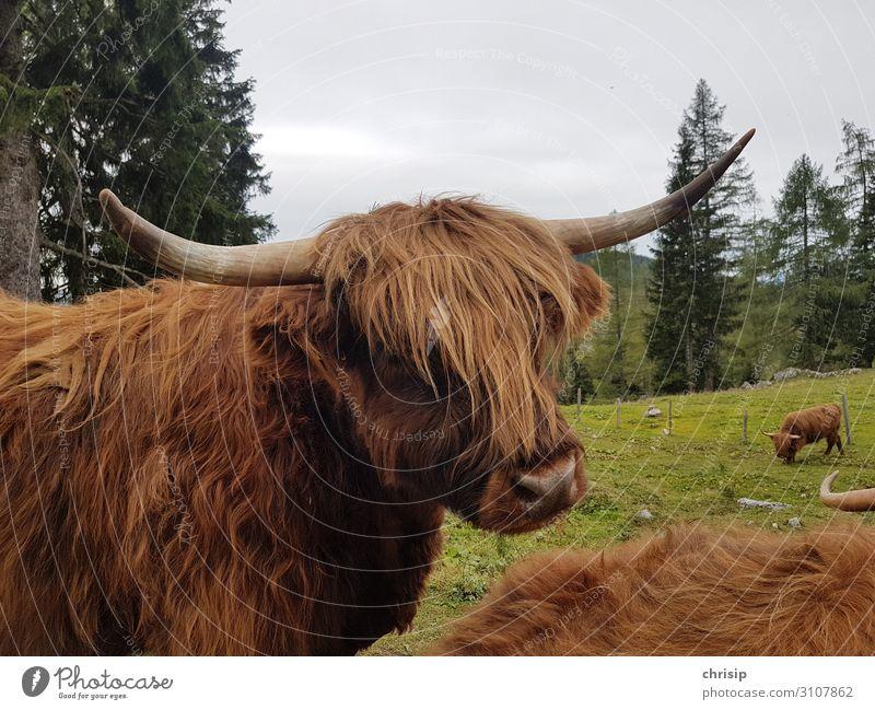 Schottisches Hochlandrind Tier Nutztier Kuh Tiergesicht Natur Farbfoto Außenaufnahme Menschenleer Tag Tierporträt